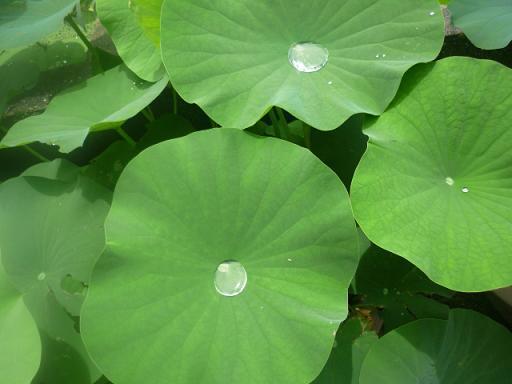 蓮の葉が水を弾いてるのがすごくキレイ・・・・・
